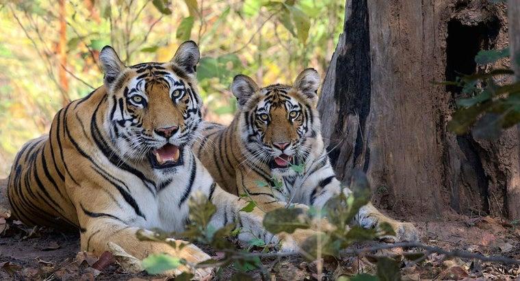 average-size-tiger
