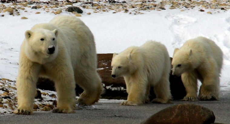 baby-bear-called