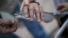 What Do Baby Catfish Eat?