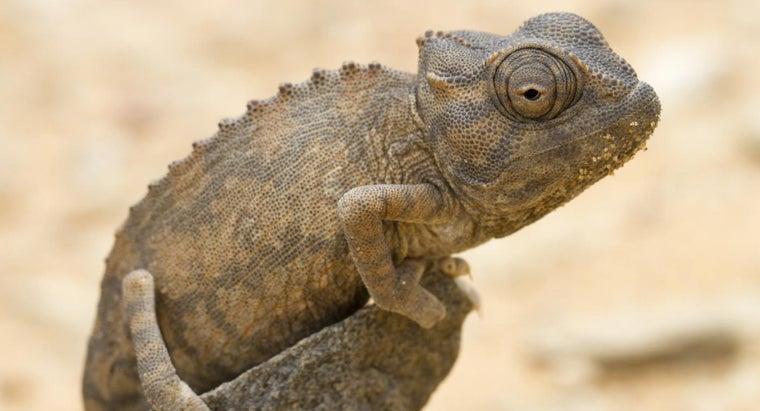 baby-chameleon-called