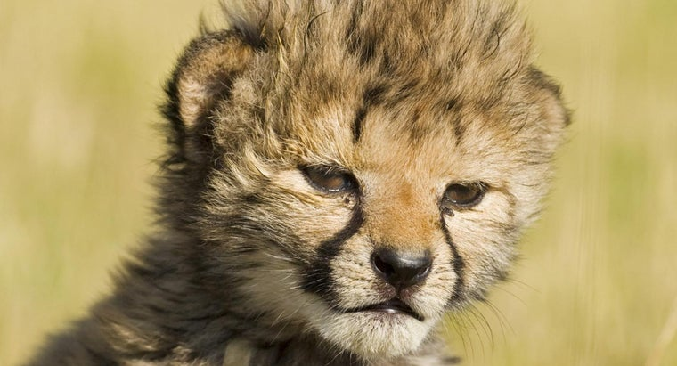 baby-cheetah-called