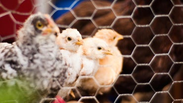 What Is a Baby Chicken Called?