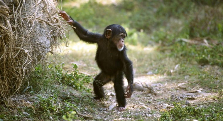 baby-chimps-play-dolls