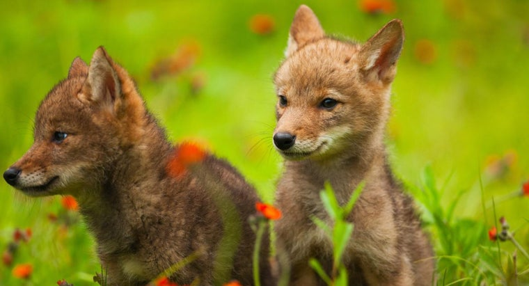 baby-coyote-called