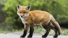 What Are Baby Foxes Called?