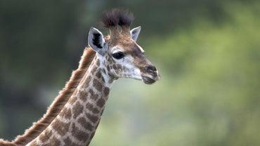 How Big Is a Baby Giraffe?
