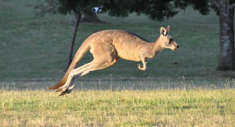 baby-kangaroo-called
