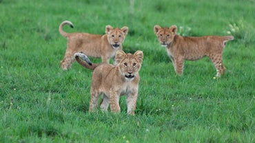What Is a Baby Lion Called?