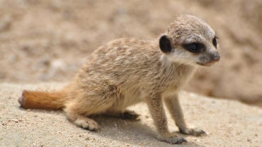 What Is a Baby Meerkat Called?