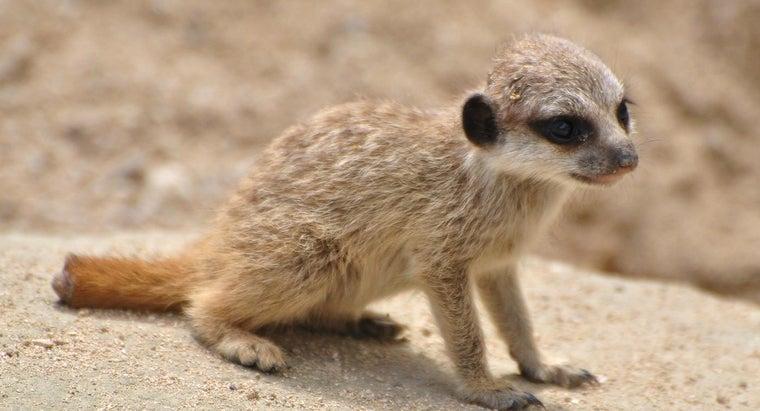 baby-meerkat-called