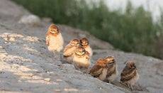 What Are Baby Owls Called?