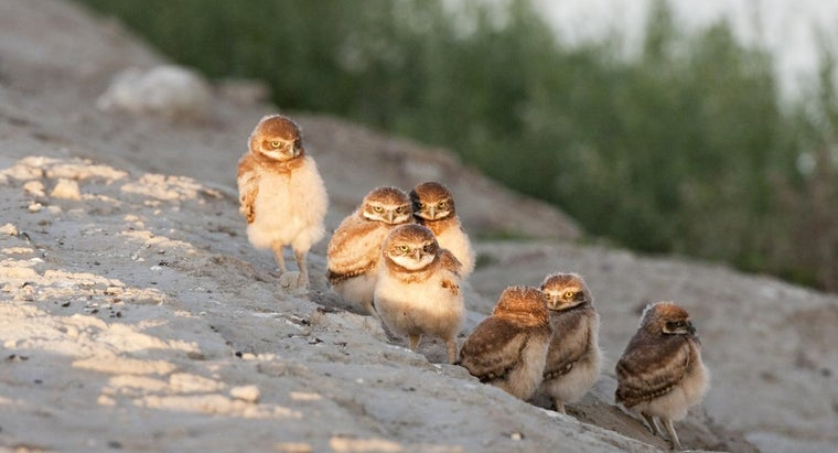 baby-owls-called