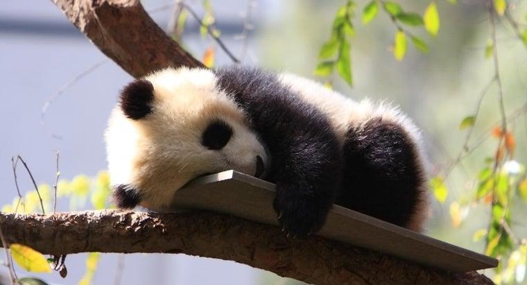 baby-pandas-called