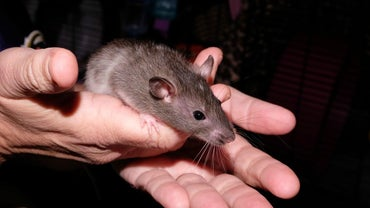 What Are Baby Rats Called?