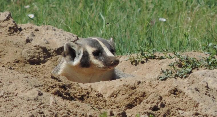 badgers-food