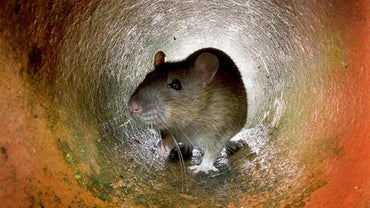 What Is the Best Bait to Catch a Rat?