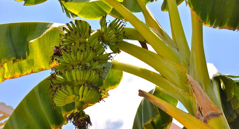 bananas-grow-trees-bushes