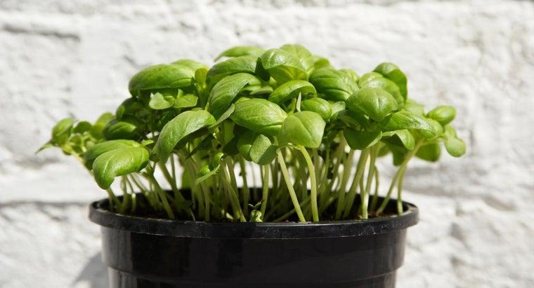 basil-plant-turning-brown