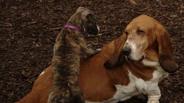 What Is a Basset Hound and Pit Bull Mix?