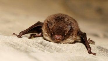What Do Bats Eat?