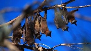 How Do Bats Reproduce?
