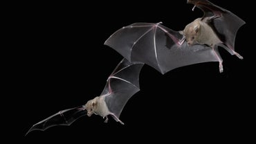 How Do Bats Find Their Way in the Dark?
