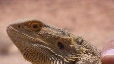 Why Does a Bearded Dragon Bob Its Head?