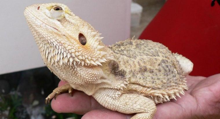 bearded-dragon-eating