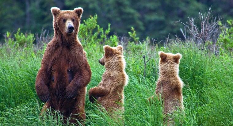 bears-live