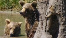 How Do Bears Reproduce?