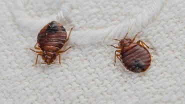 Do Bed Bugs Jump?