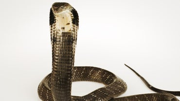 What Is the Behavior of a King Cobra?