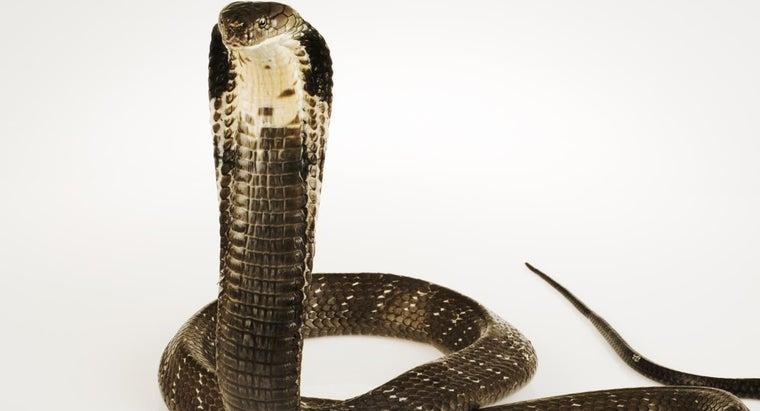 behavior-king-cobra