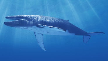 What Is Being Done to Protect the Blue Whale From Extinction?