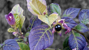 What Is the Belladonna Flower?