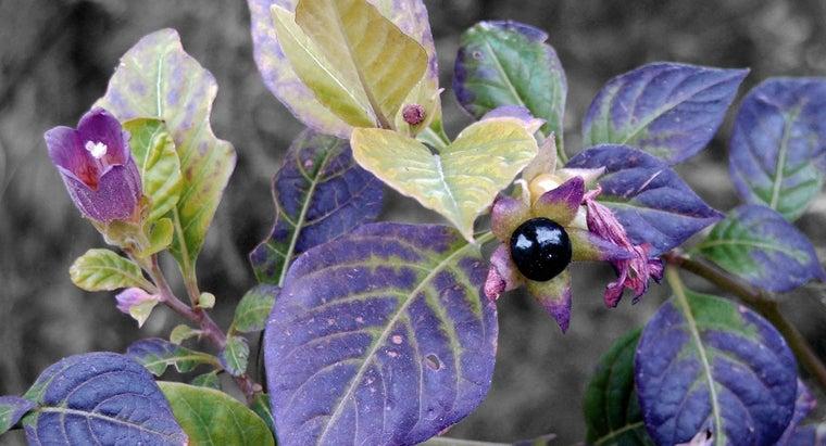 belladonna-flower