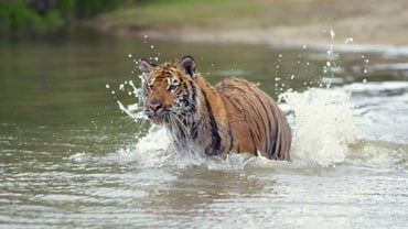 Where Is the Bengal Tiger in the Food Web?