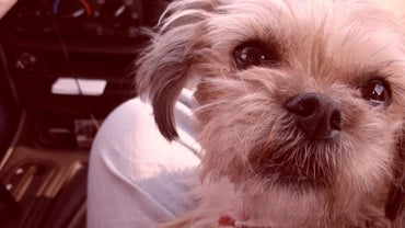 What Is a Bichon and Maltese Mix?