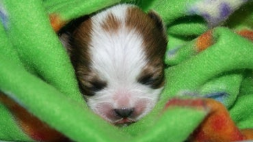 How Big Are Baby Shih Tzu Puppies?