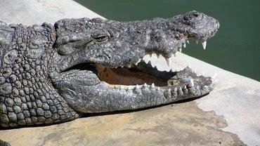 How Big Is a Crocodile's Mouth?