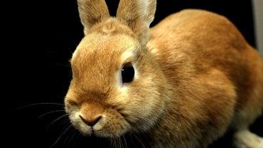 How Big Do Dwarf Rabbits Get?
