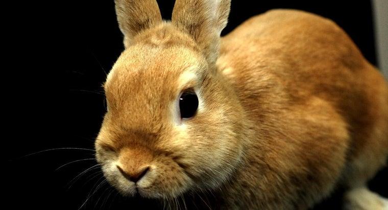 big-dwarf-rabbits
