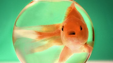 How Big Do Goldfish Grow?