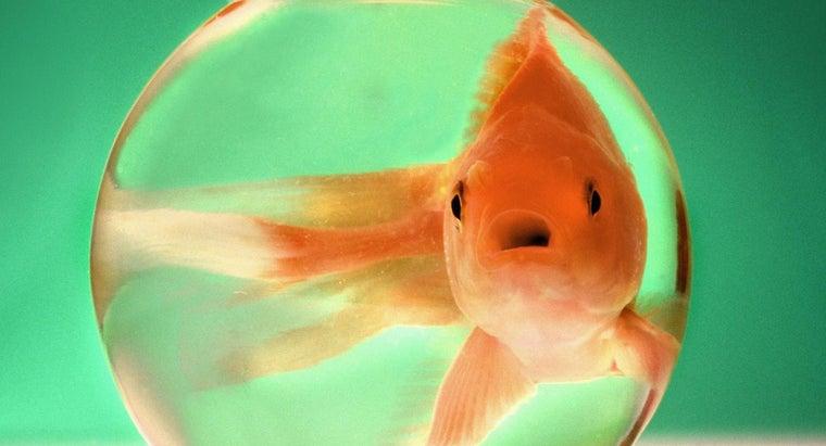big-goldfish-grow