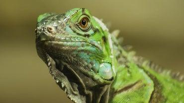 How Big Do Iguanas Get?
