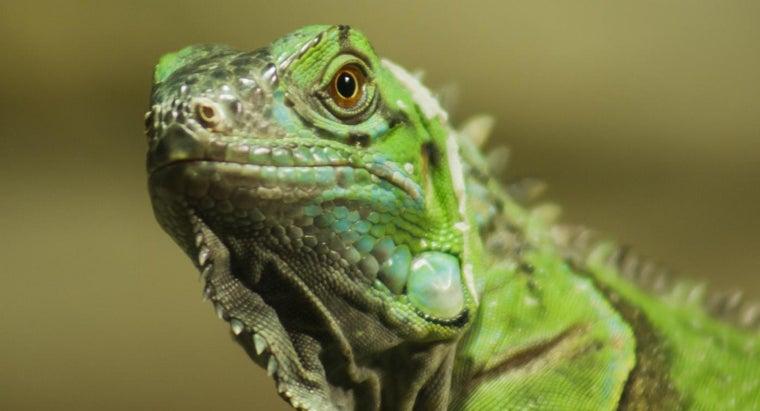 big-iguanas