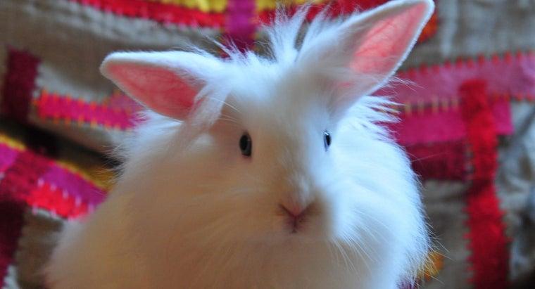 big-lionhead-rabbit