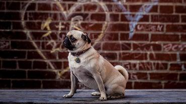 How Big Do Pugs Grow?
