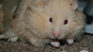 How Big Are Teddy Bear Hamsters?