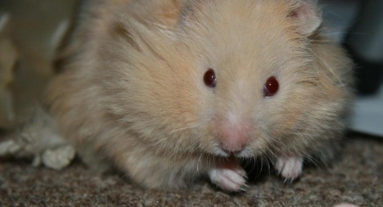 big-teddy-bear-hamsters